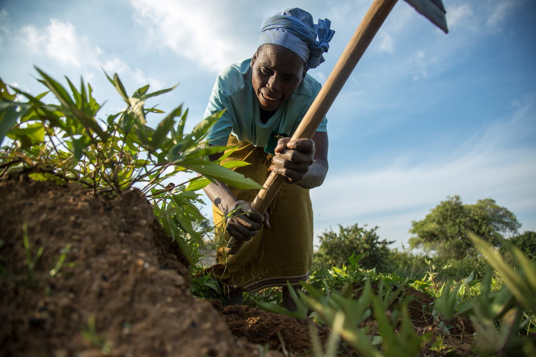 A woman uses a garden tool to dig in a green field of crops.