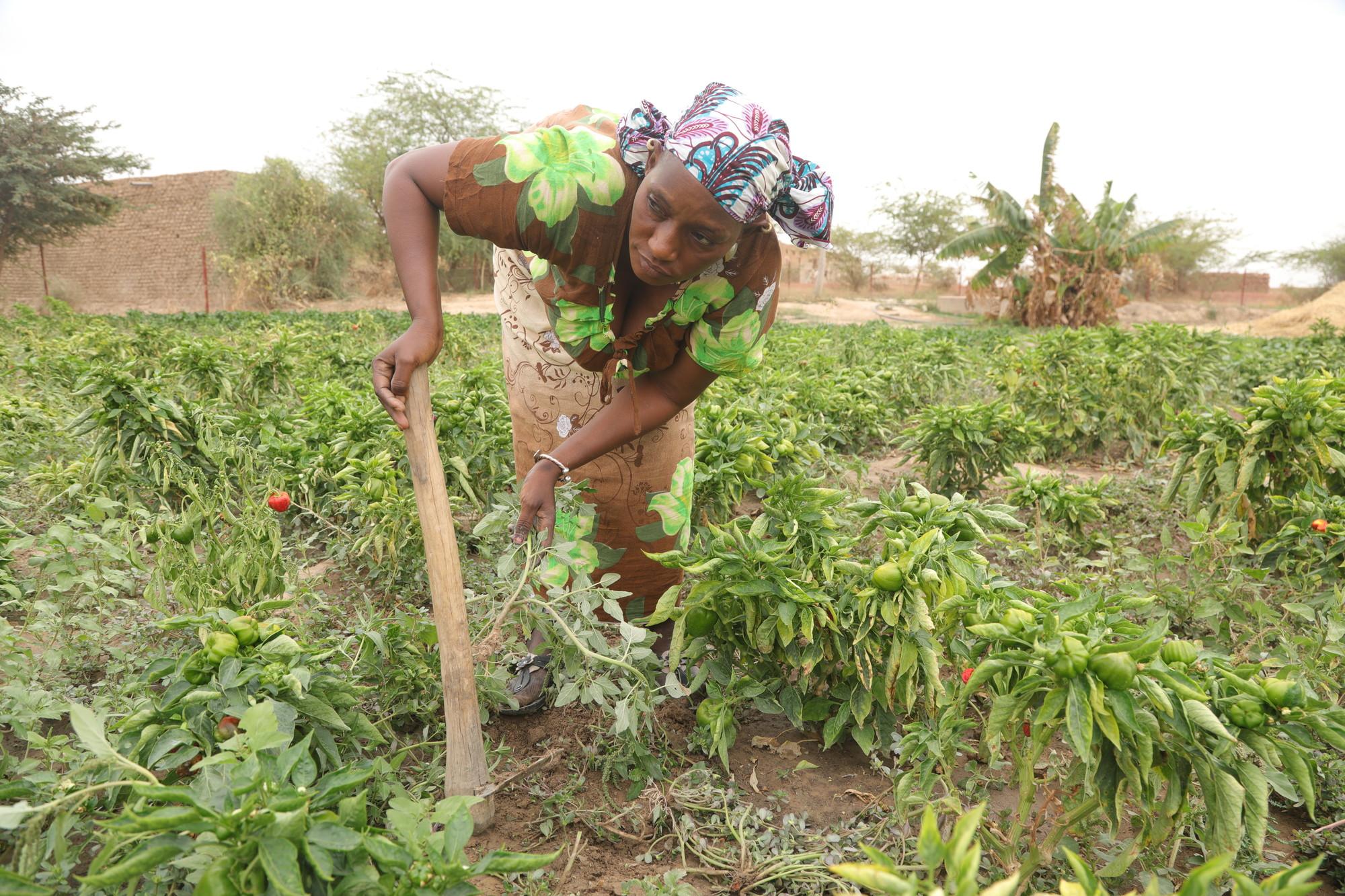 A woman farms crops in a field.