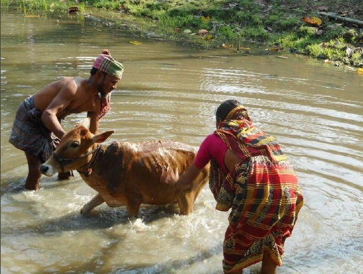 A topless man and a woman wearing a colorful piece of cloth are washing a cow in a pond.
