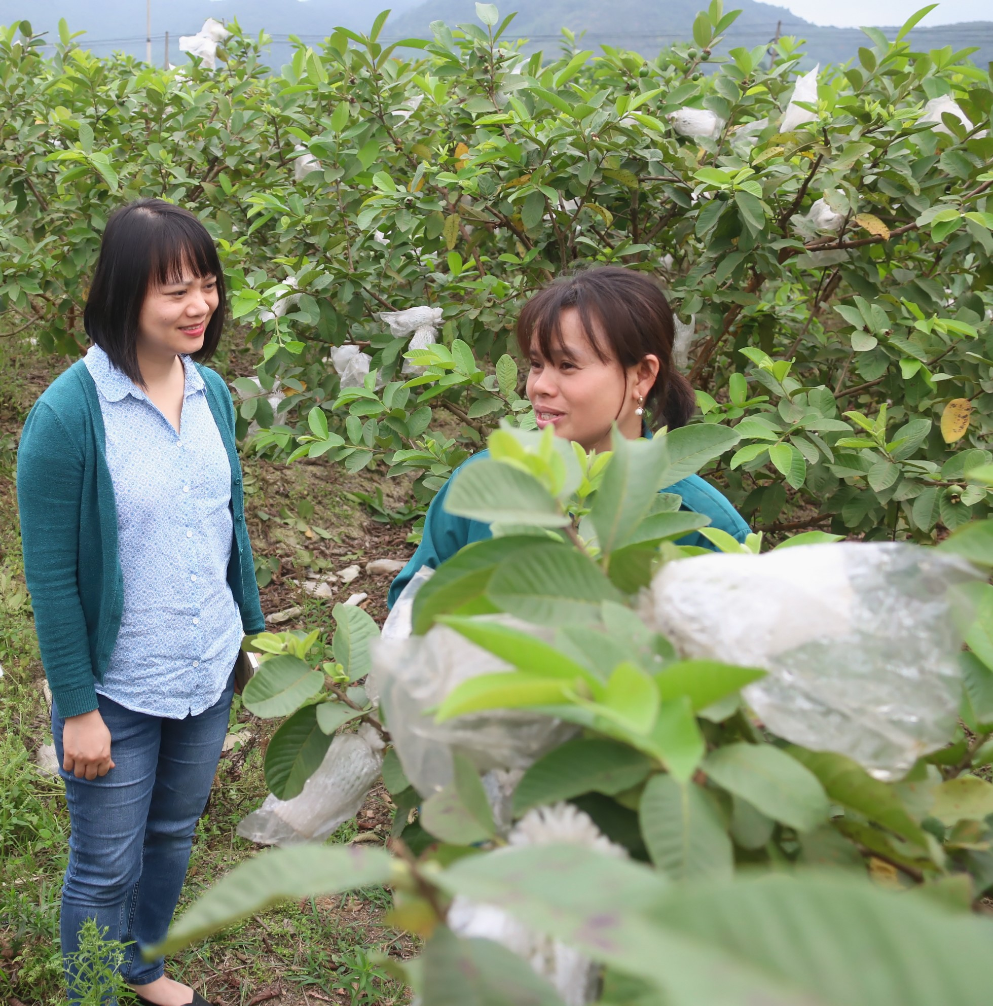 Two women stand in a field of a guava farm.